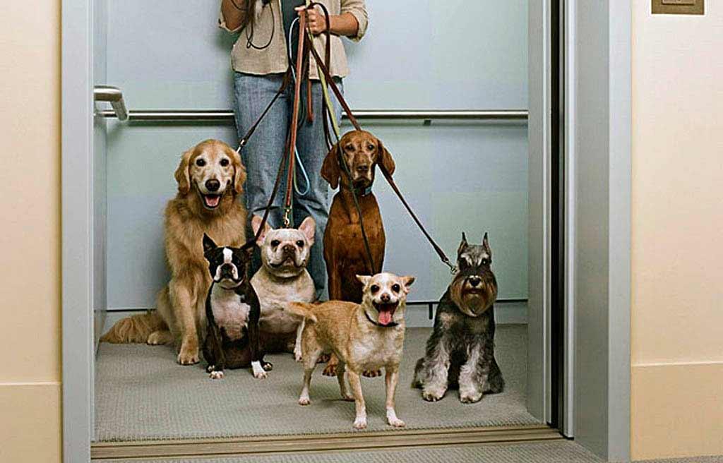 Перевозка-животных-в-лифте --- как-быть_1
